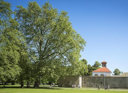 , Platan z Budatína sa uchádza o titul Európsky strom roka!