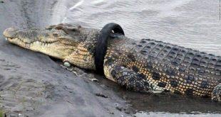 Originálna možnosť zárobku! Stačí krokodílovi odstrániť z krku neželaný náhrdelník
