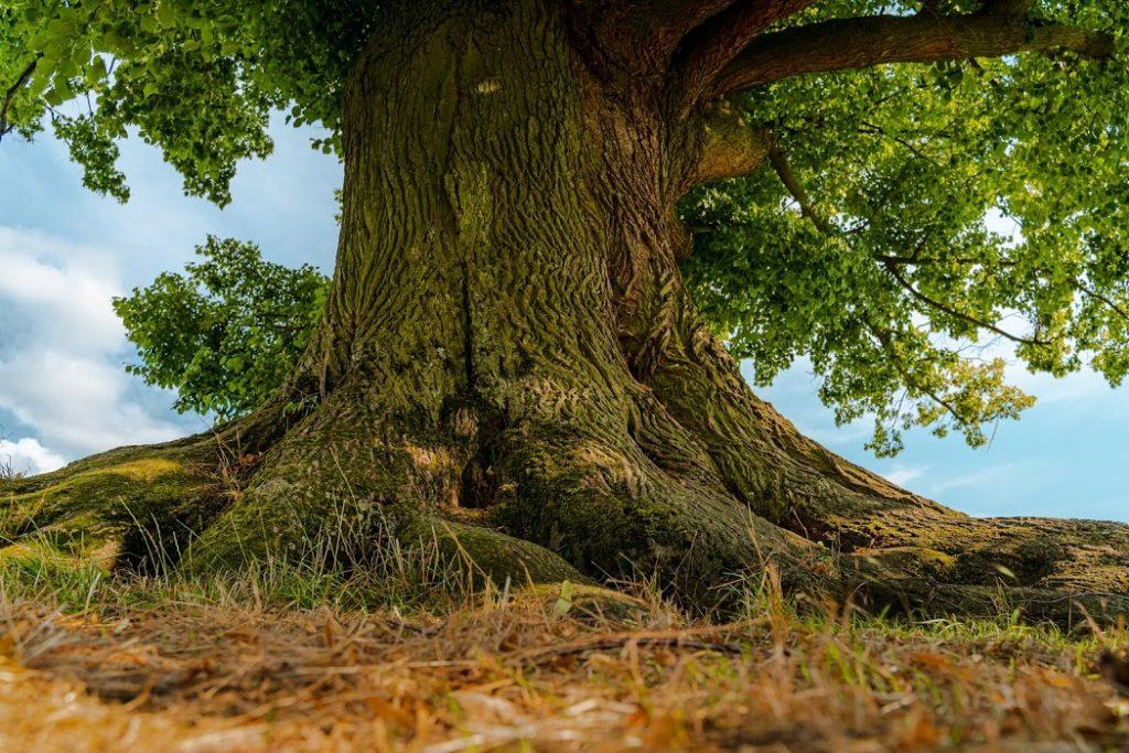 , Bude Strom roka lipa pri Necpaloch? Šanca je veľká…